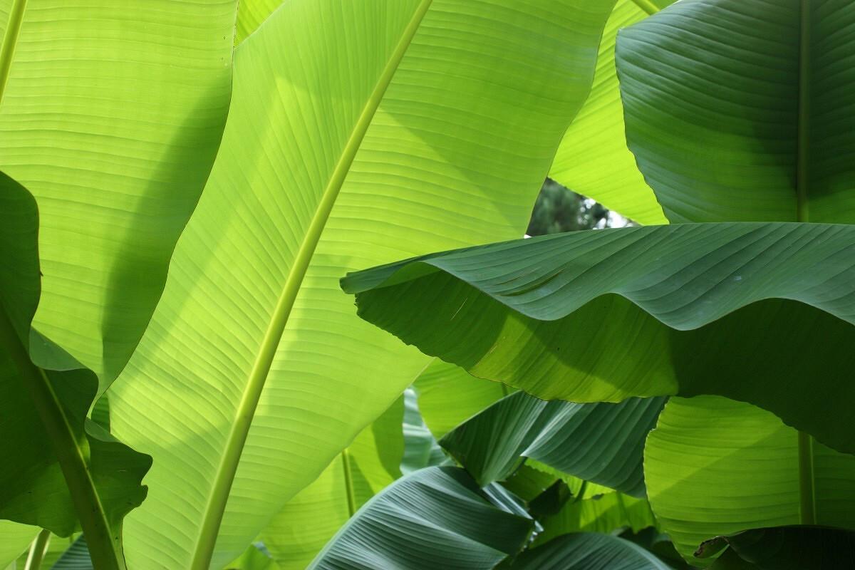 Банановый листок от Lolitafly